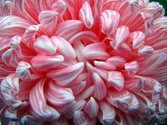 Candycurl Swirl (flipkeat) Tags: pink flowers white flower macro beautiful cool flora different shots unique awesome swirl chrysanthemum soe striped perennial potofgold naturesfinest exemplary digitalcameraclub topshots bej fantasticflower languageofflowers mywinners abigfave pinkalicious anawesomeshot flowerwatcher overtheexcellence goldstaraward flowersmacroworld fabulousflora natureselegantshots wonderfulworldofflowers mimamorflowers dsch50 damniwishidtakenthat pinknpowerful awesomeblossoms 100commentgroup flickrflorescloseupmacros panoramafotogrfico naturescreations hairygitselite