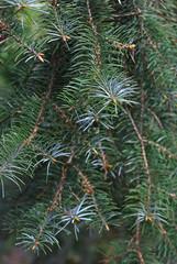 Abies bracteata (Eric Hunt.) Tags: sanfrancisco california blue tree green branch needles conifer bluish pinaceae abies abiesbracteata