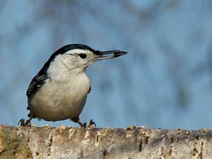 Show Off (vtpeacenik) Tags: november bird vermont whitebreastednuthatch naturesfinest bej mywinners goldstaraward
