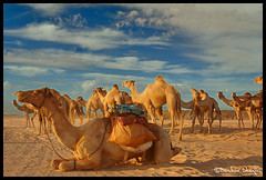 Los Camellos ! (Bashar Shglila) Tags: world sahara photography gallery desert photos top sudan best most camel worlds popular camels camello deserto camellos dongola addictedtoflickr colorphotoaward colourartaward bentaher damniwishidtakenthat flickrlovers photographersreallygonewild 100commentgroup