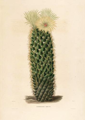 012-Mammillaria erecta