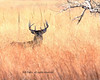 Buck in the tall grassIMG_3115c10x8 (CP Images) Tags: nature wildlife deer kansas whitetail cpimages grasslandstnc09