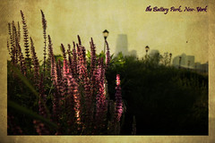 Lavender in the Battery Park, NYC (belle_vue_) Tags: nyc flowers newyork vintage photo bokeh memories lavender batterypark textured cartepostale memoriesbook atqueartificia
