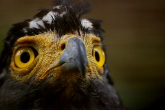 Crested Serpent Eagle I (Firdaus Mahadi) Tags: china africa pakistan usa india bird birds animals indonesia asian zoo lowlight southeastasia dof unitedstates eagle bokeh hawk availablelight australia depthoffield malaysia falcon srilanka potrait sulawesi eagles hearing melaka malacca eurasia southasia potraiture  sumatera crestedserpenteagle accipitridae potret helang zoomelaka nikkor70300vr malaccahistoricalcity firdausmahadi melakabandarayabersejarah firdaus nikonflickraward50mostinteresting falconiformers klueewipwip