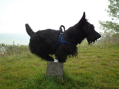 A not quite comfortable Scottie (Lars Odemark) Tags: scottish terrier balance scottie rasmus skotsk