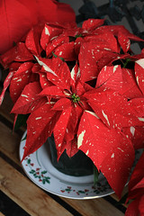 Hello Holidays (Megan Conlin (organicpixel)) Tags: red holiday plant festive poinsettia frontporch duartenursery shimmersurprise greenhousefresh
