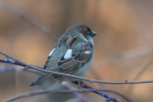 Other sparrow