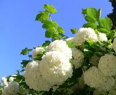 Viburnum opulus (Luigi Strano) Tags: flowers flores nature fleurs flor blumen fiori blommor shrubs flors iekler flori  fior arbusti schedebotaniche botanicalnotes