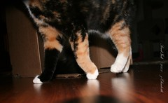 03 Dec-08- 019 (PondInk :) Tags: cats grey chat play box kittens ficus gato poquita animaladdiction catnipaddicts pondink