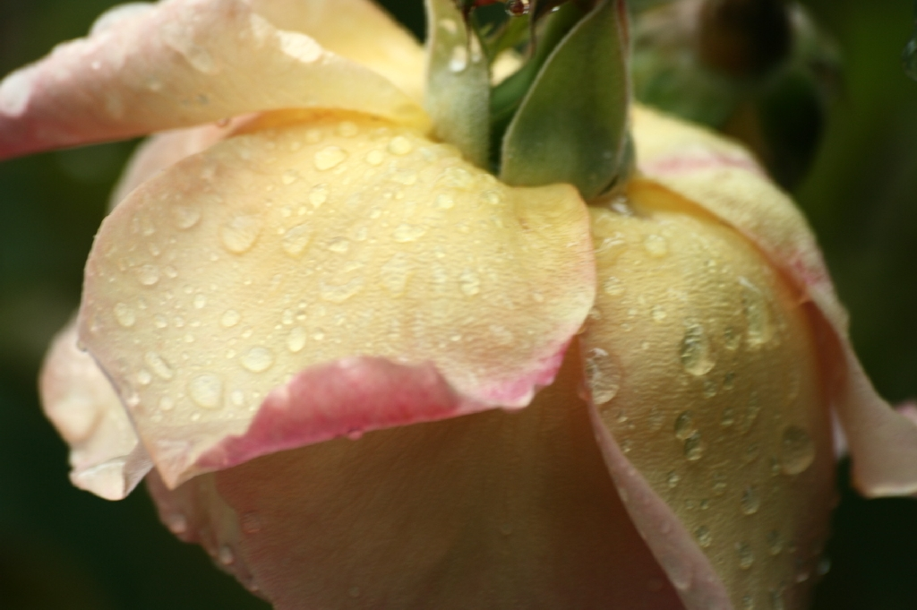 Raindrops on Fine Rose
