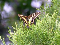 f5 (juergenberlin) Tags: china butterfly falter schmetterling wwwnkisinfoflickr0066z2814