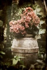 Geraniums (kekyrex) Tags: flowers texture floral vintage botanical geraniums