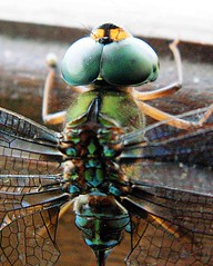 Java dragonfly (Mangiwau) Tags: west green eye beach insect java fly dragon dragonfly large insects cerita mata malam pantai naga selat barat sunda krakatau serangga capung kupu banten anyey