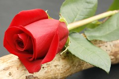 Single Red Rose (pixiepic's) Tags: flowers red rose branch soe blueribbonwinner colorphotoaward awesomeblossoms simplythebest~flowers
