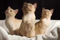 The Three Musketeers (fenlandsnapper) Tags: 1025fav wow kittens mostinteresting burmesecat athos misa porthos canonef50mmf14usm cc600 bestofcats pet100 catmoments 5boc boc0409