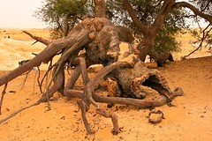 (853) Akazie / ancient tree / desert / egypt (unicorn 81) Tags: africa old travel plants tree sahara nature trekking landscape geotagged nationalpark sand desert northafrica egypt egyptian egipto 2009 gypten egitto egypte reise egypten rundreise roundtrip egipt gypte mapegypt whitedesert misr nordafrika egypttrip libyandesert april2009 gypten deserttour aegyptus unicorn81  whitedesertnationalpark gyptusintertravel gyptenreise schulzaktivreisen nationalparkweisewste nationalparkwhitedesert wstenreise meinjahr2009