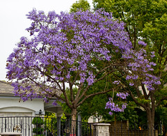 One of the many Jacaranda trees in the Arcadia area of Los Angeles (prayforsnow) Tags: trees vacation losangeles blossoms jacaranda jacarandatree