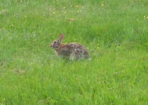 Bunny_6711f