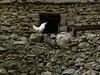 Iraq Kurdistan 2008 (Chris Kutschera) Tags: iraq rooster kurdistan coq irak hawraman