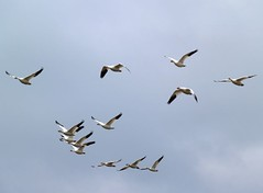 Snow Geese (moonm) Tags: birds geese snowgeese gaggle