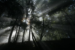 light (planetlight) Tags: california trees light contrast forest dark photography coast darkness pacific coastal passion redwood redwoods shafts soe sanmateo pacificcoast mountian californiacoast lightrays godrays godlight lightshafts blueribbonwinner coastallight mywinners abigfave coastaltrees diamondclassphotographer flickrdiamond planetlight godlite mountianlight
