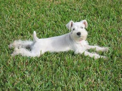 Lyndon and Lilly 081 (schnauzy_mom) Tags: friends white cute dogs outside puppies cousins adorable canine schnauzer precious lilly relaxin playball layinginthegrass