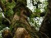 竹山鎮中和里救人老茄苳樹DSCN0189
