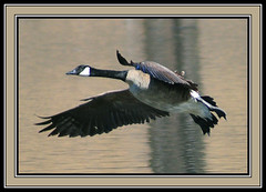 Canada Goose Looking For Landing Spot (vidterry) Tags: goose fabulous picturesque magicmoments canadagoose anawesomeshot wowiekazowie qualitypixels flickrlovers earthanditsincredibleanimals nikonflickraward naturallymagnificent