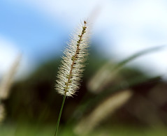 Good morning starshine (Mrcia_Marton) Tags: light macro grass capim fpc theunforgettablepictures flickrbestpics