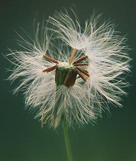 macro verde green dandelion naturesfinest dentedeleao sonyh5 mywinners