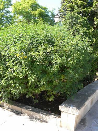 Cassia corymbosia