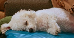 Life of Ripley (scottnj) Tags: usa dog white america puppy newjersey sleep nj fluffy ripley tired bichon bichonfrise doggy pup doggie iluvmydog scottnj