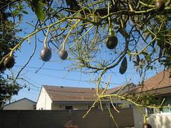 Sadly Shrunken Avocados (erly206) Tags: california backyard huntingtonbeach avocados