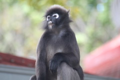 A Monkey at Burau Bay (my_urban_life) Tags: monkey langkawi mutiara buraubay