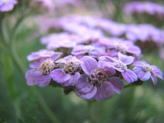 The Flower Is The Poetry... (Nature_Deb) Tags: blue summer flower green nature beauty evening warm bokeh quote violet lavender tiny delicate lacy