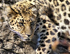 Spotted by a Leopard