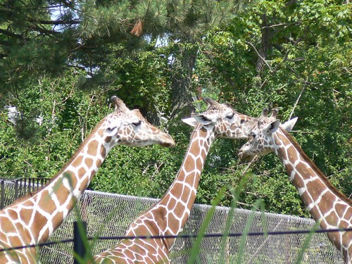 Gorgeous Giraffes