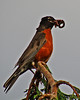 American Robin with food for young (Perk's Pics) Tags: birds soe americanrobin abigfave outstandingshot worldbest isawyoufirst