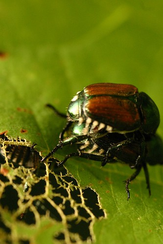 Japanese Beetle Pair
