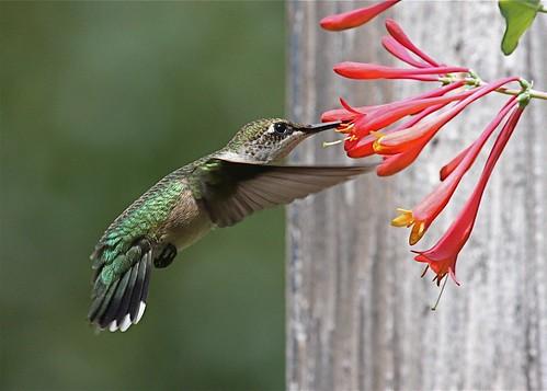 Ruby-throated Hummingbird (female) by rwolfert (on flickr)