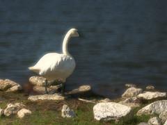 Starlake Swan 7 (filam61) Tags: photoshop hdr starlake photomatix hooveralabama ortoneffect 80808