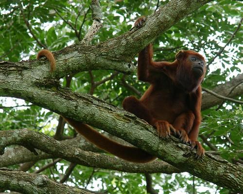 بوزینه جیغ زن قرمز : red howler monkey