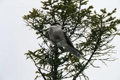 Grey Jay on Old Speck Trail, ME (wb671987) Tags: bird outdoors grey jay hiking wildlife maine oldspeck graftonnotch appalaciantrail greyjay oldspeckmountain
