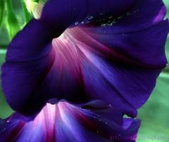 I will miss the colors of summer (lynne_b) Tags: flower nature garden illinois flora seasons purple blossom vine bloom morningglory mygarden deeppurple explored