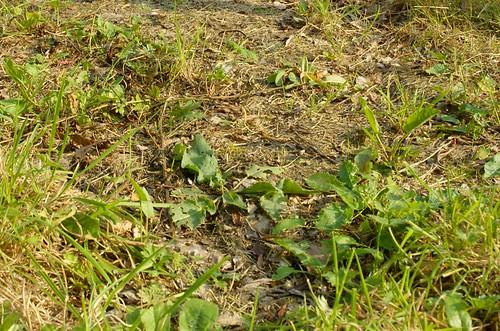 grassen wieden in de weide