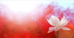 Lotus Flower with Red background / red /color red / red color / red / nature / - IMGP7691 - Yoga -  , , ,  , Fleur de Lotus, Lotosblume, ,  (Bahman Farzad) Tags: flowers red flower macro nature yoga fog back peace lotus background smoke relaxing peaceful ground meditation therapy colorred whitelotus  redbackground lotusflower lotusflowers redcolor lotuspetal  lotuspetals  lotosblume fleurdelotus   backgroundred  lotusflowerpetals lotusflowerpetal
