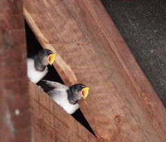Late September & Late Swallow Chicks still needing feeding. (JB photographer) Tags: summer england bird nature barn speed kent babies feeding flight wing fast insects chick explore migratory swallow barnswallow visitor hirondelle swoop hirundorustica swallows vite birdwatcher girigiri migrant skimming newnham migrants rustica hirundo hirundine svala forkedtail summervisitor golodrina fantasticwildlife copyrightjonathanbarkerphotographer inkonjani nyankalema syndalevalley