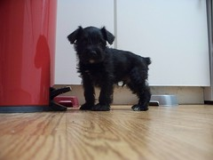 Our Miniature Schnauzer Puppy