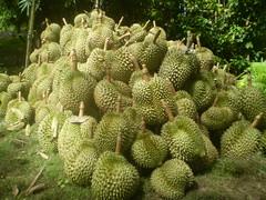 Trái Sầu riêng (Durian fruits) Durio zibethinus L  Bombacaceae