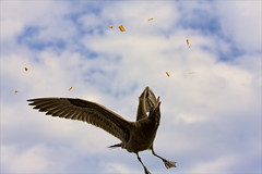 sea gull and the sun chips (Daryl's World TTL) Tags: beach gulls recycling elsegundo gardensalsasunchips